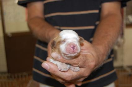キャバリアキングチャールズスパニエルの子犬販売No.200809272