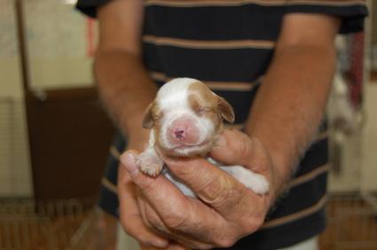 キャバリアキングチャールズスパニエルの子犬販売No.200809274
