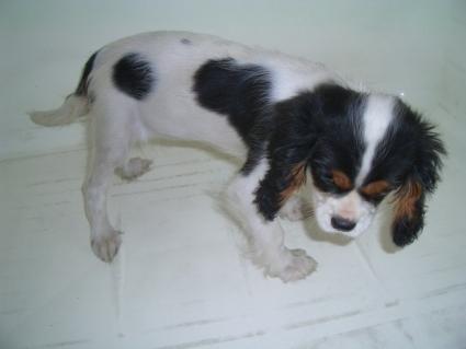 キャバリアの子犬販売No.200903271