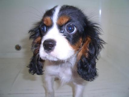 キャバリアの子犬販売
