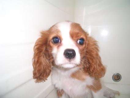キャバリアの子犬販売No.200903231