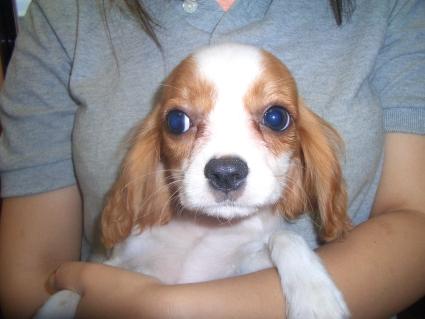 キャバリアの子犬販売No.200906112
