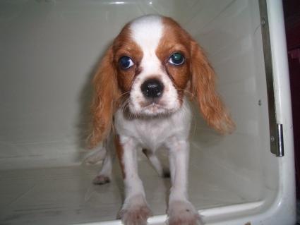 キャバリアの子犬販売No.200906111