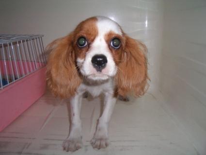 キャバリアの子犬販売No.200906113