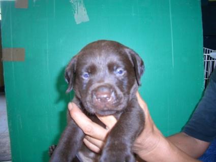 ラブラドールレトリバーの子犬2