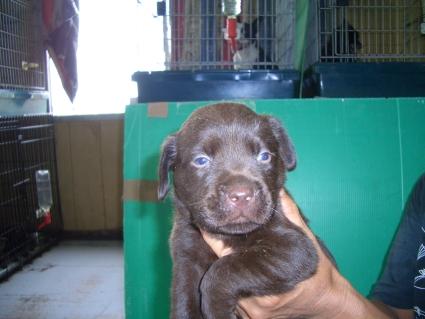 ラブラドールレトリバーの子犬3