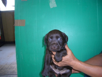 ラブラドールレトリバーの子犬1
