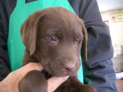 ラブラドールレトリバーの子犬販売No.200811071