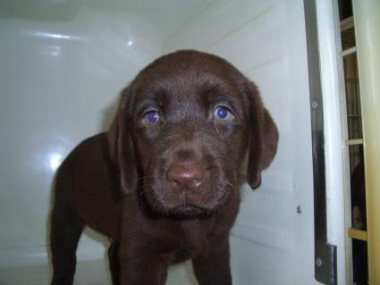 ラブラドールレトリバーの子犬販売No.200905201