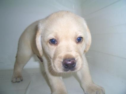 ラブラドールレトリバーの子犬販売No.20090612