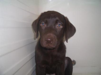 ラブラドールレトリバーの子犬販売No.20090520