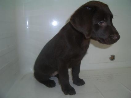 ラブラドールレトリバーの子犬販売No.20090520-2