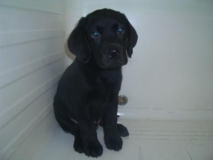 ラブラドールレトリバーの子犬販売No.20090526-2