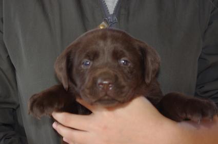 ラブラドールレトリバーの子犬販売No.200911204
