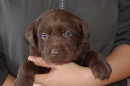 ラブラドールレトリバーの子犬販売No.200911205