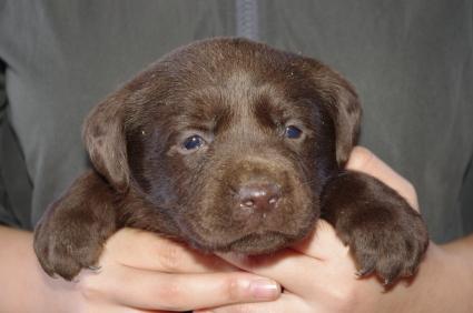 ラブラドールレトリバーの子犬販売No.200911206