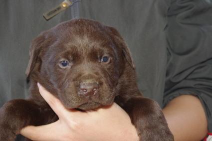 ラブラドールレトリバーの子犬販売No.200911201