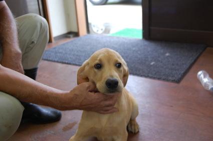 ラブラドールレトリバーの子犬販売No.200805261
