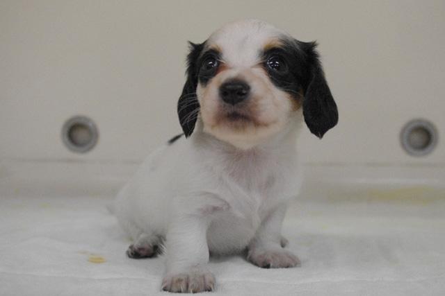ミニチュアダックスフンドの子犬