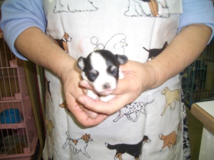 ミックス犬の子犬No.200809251
