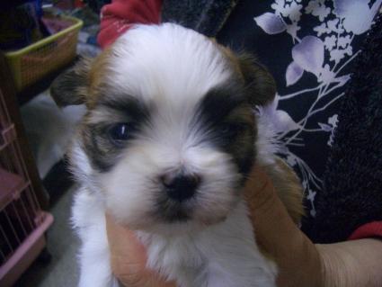 ミックス犬の子犬No.200902013