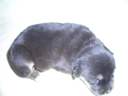 ミックス犬の子犬No.200904166-2
