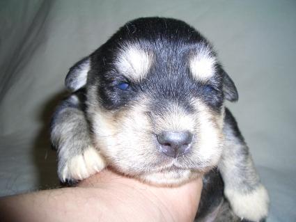 ミックス犬の子犬No.200904165