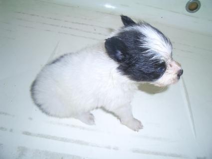 ミックス犬の子犬No.200908073-2