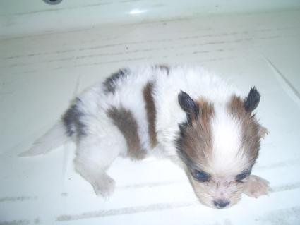 ミックス犬の子犬No.200908074-2