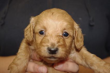ミックス犬の子犬No.200911151