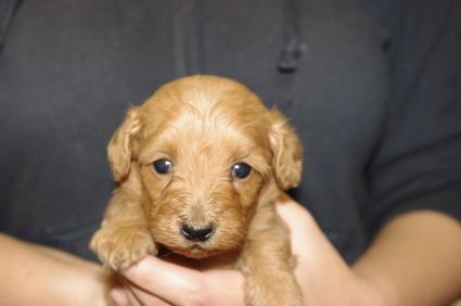 ミックス犬の子犬No.200911152