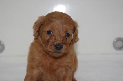 ミックス犬の子犬No.200911203