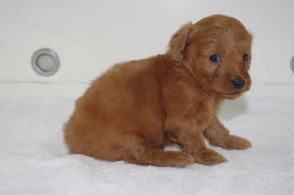 ミックス犬の子犬No.200911203-2