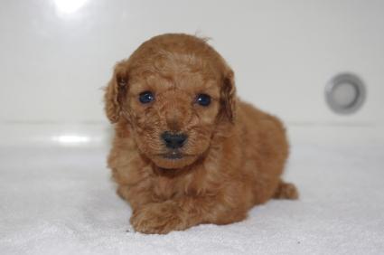 ミックス犬の子犬No.200911204
