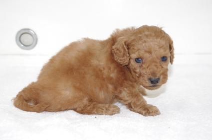 ミックス犬の子犬No.200911204-2