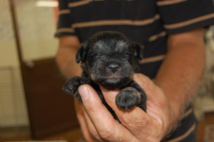 ミニチュアシュナウザーの子犬販売No.200809113