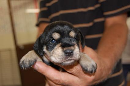 ミニチュアシュナウザーの子犬販売No.200809114