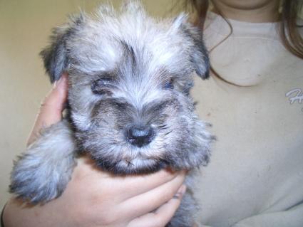 ミニチュアシュナウザーの子犬販売No.200812161