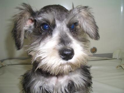 ミニチュアシュナウザーの子犬販売No.200901131