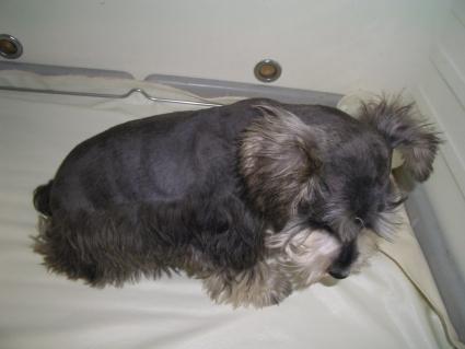 ミニチュアシュナウザーの子犬販売No.20090113-1