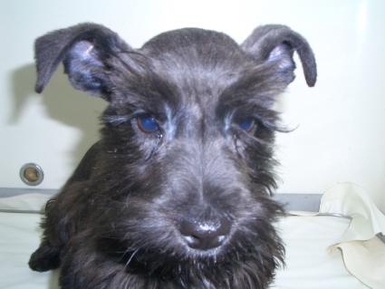 ミニチュアシュナウザーの子犬販売No.200901132