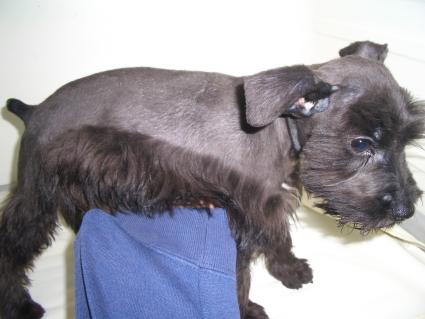 ミニチュアシュナウザーの子犬販売No.20090113-2