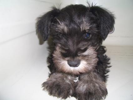 ミニチュアシュナウザーの子犬販売No.200903171