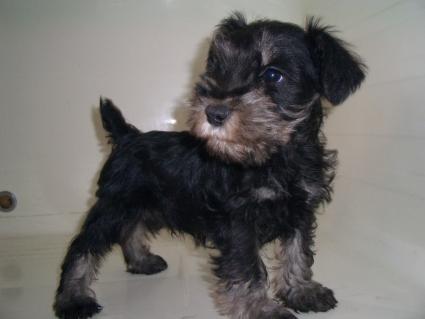 ミニチュアシュナウザーの子犬販売No.200903171-1