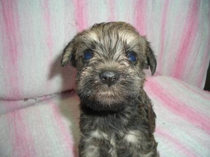 ミニチュアシュナウザーの子犬販売No.200905161