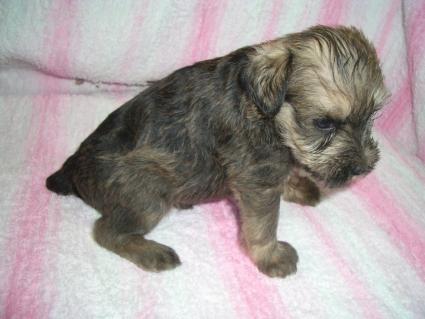 ミニチュアシュナウザーの子犬販売No.200905161-1