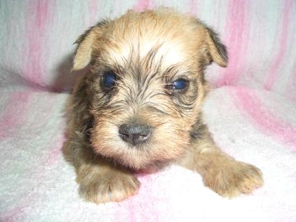 ミニチュアシュナウザーの子犬販売No.200905163