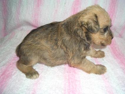 ミニチュアシュナウザーの子犬販売No.200905163-1