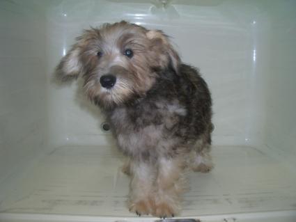 ミニチュアシュナウザーの子犬販売No.200905162-1