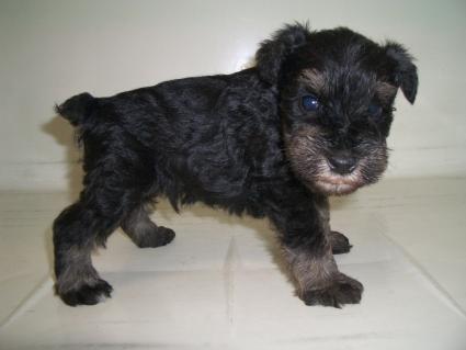 ミニチュアシュナウザーの子犬販売No.200909051-1